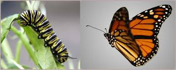caterbutterfly